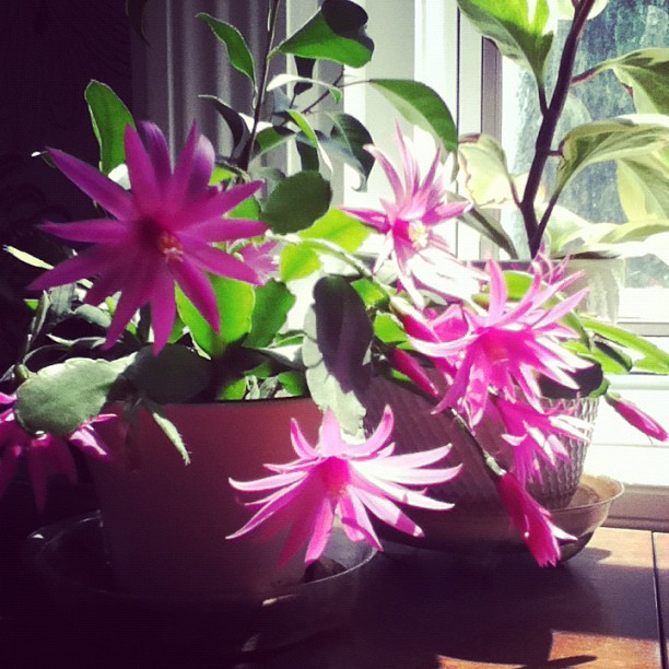blooming christmas cactus instagram