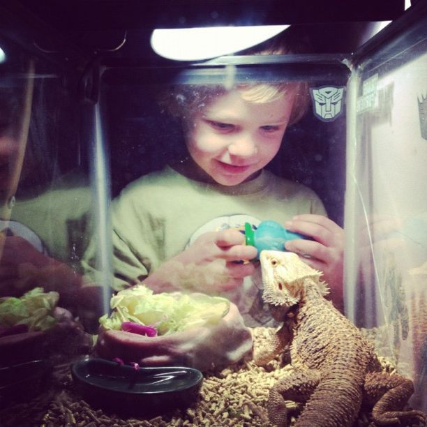 little boy looking at black bearded lizard in aquarium instagram